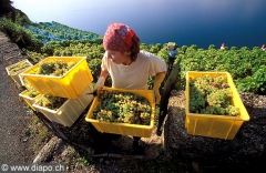 9900_Lavaux_vendanges_dezaley.jpg